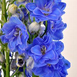 elatum-blue