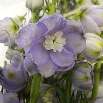 lavender002