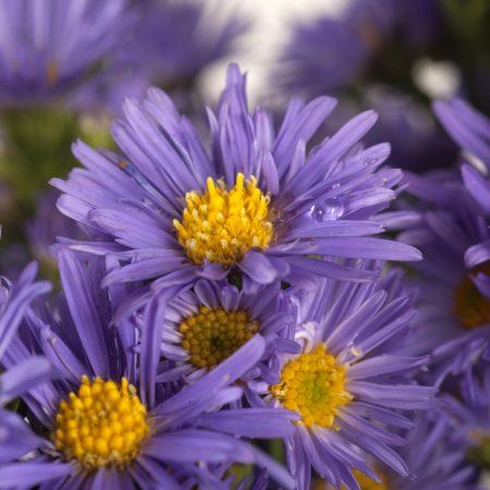 aster purple 2